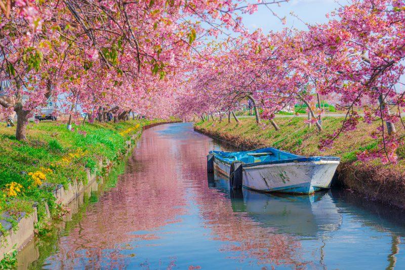 松阪の河津桜